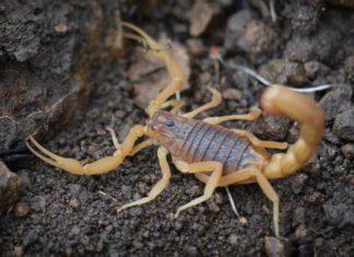 Самые ядовитые скорпионы в мире