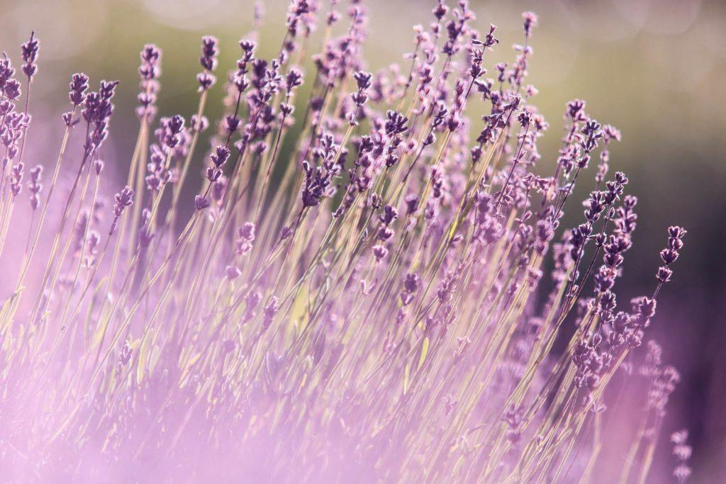 Wallpaper lavender
