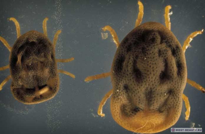 Argasidae. Как выглядят Аргасовые клещи