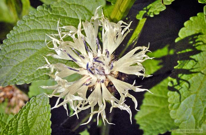 Centaurea Fischeri