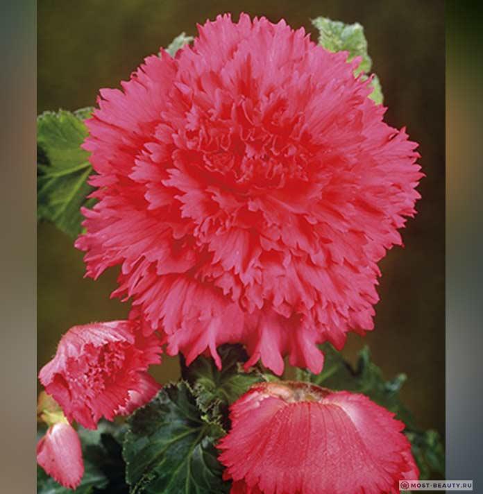 fambriata pink
