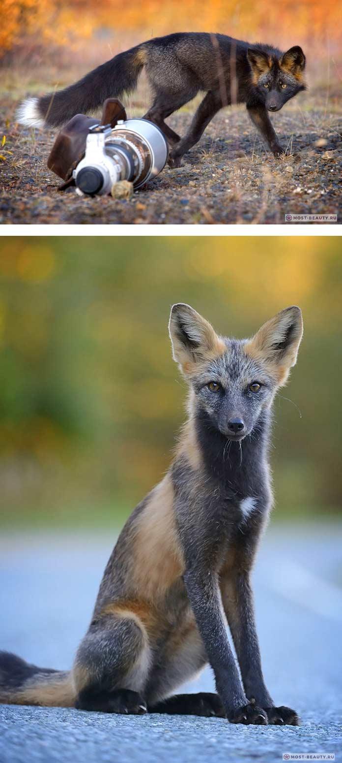 Чёрно-бурая лисица