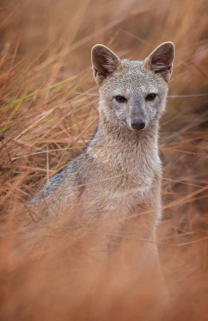 Cerdocyon thous. 18 самых красивых представителей псовых