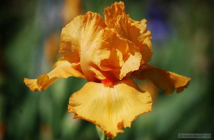 Iris Avalon Sunset