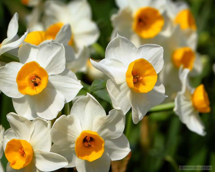красивые Нарциссы
