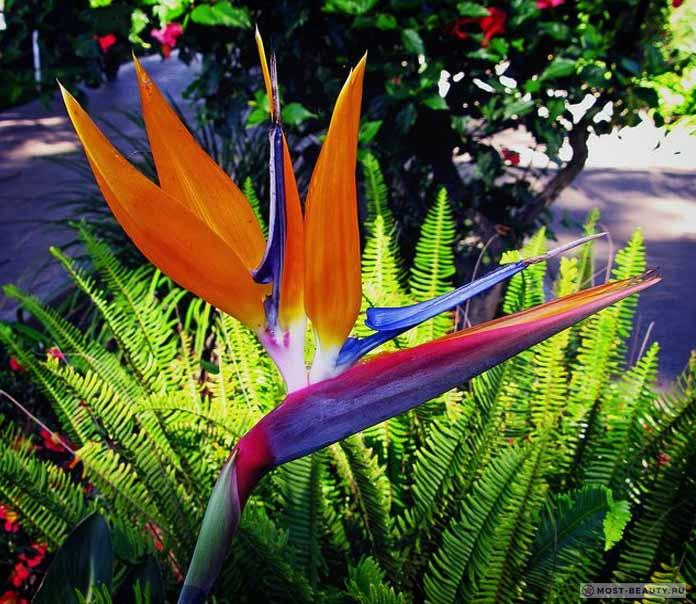 Paradise bird iris
