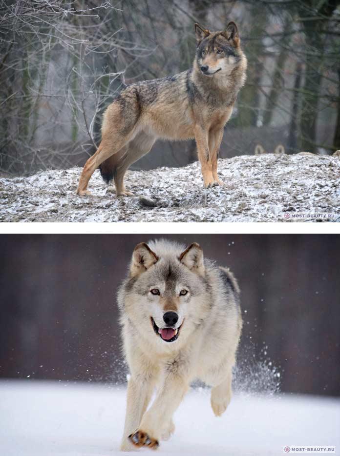Волк обыкновенный