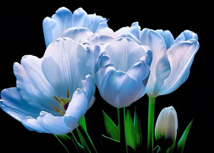 синие тюльпаны