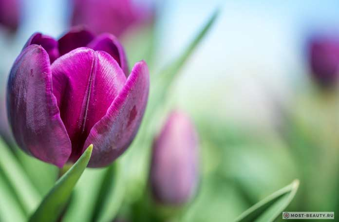 Сиреневый тюльпан