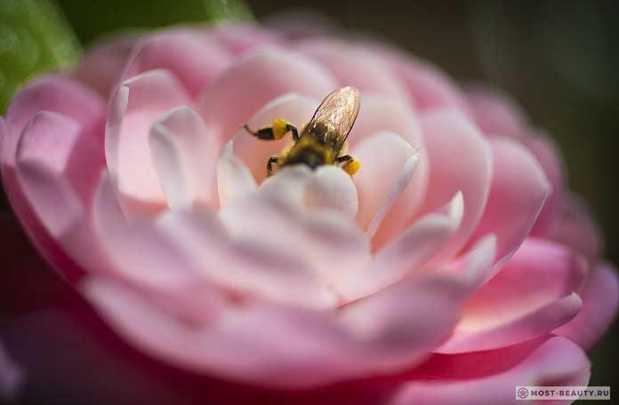 Пчела на цветке камелии