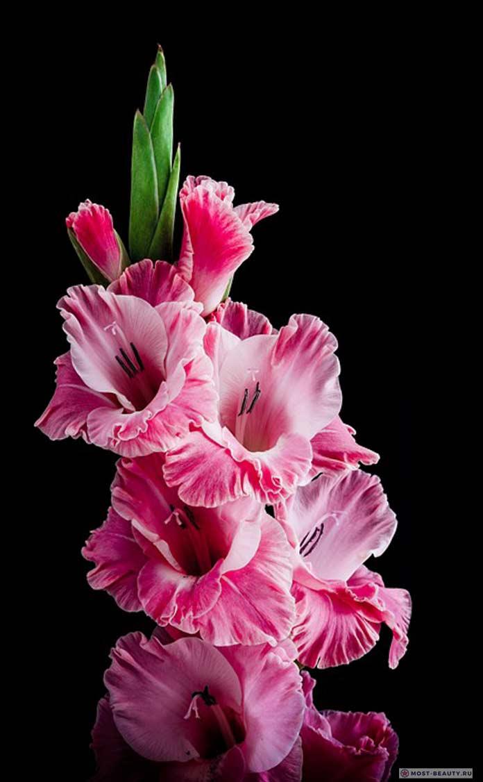 Фото розовых гладиолусов