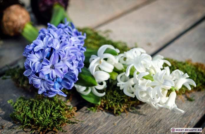 Белые и синие гиацинты