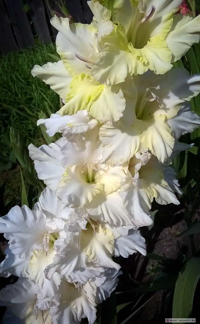 Белая береза