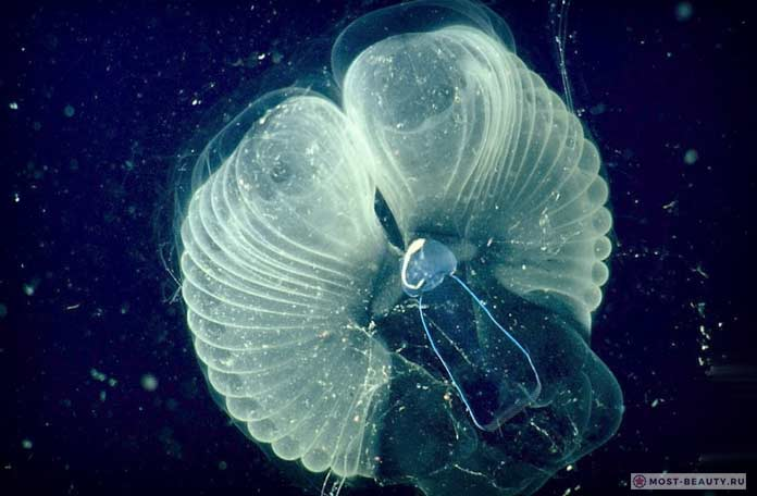 Гигантский планктон