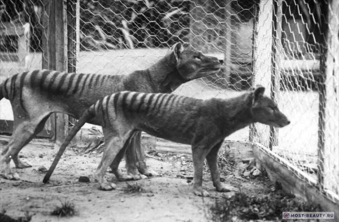 Тасманский тигр Бенжамин