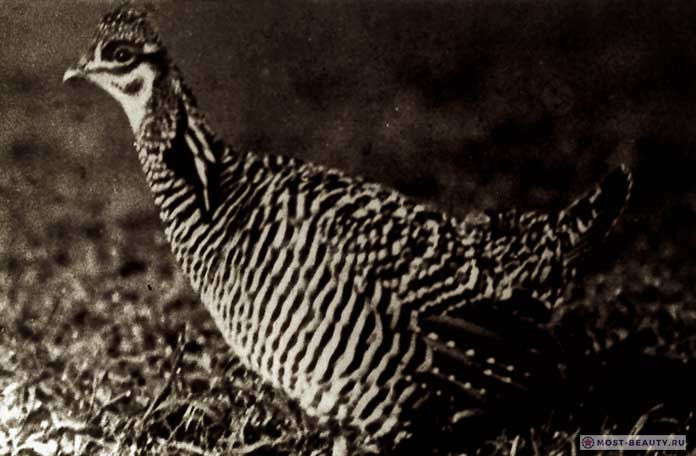 Вересковая курица Бум Бен