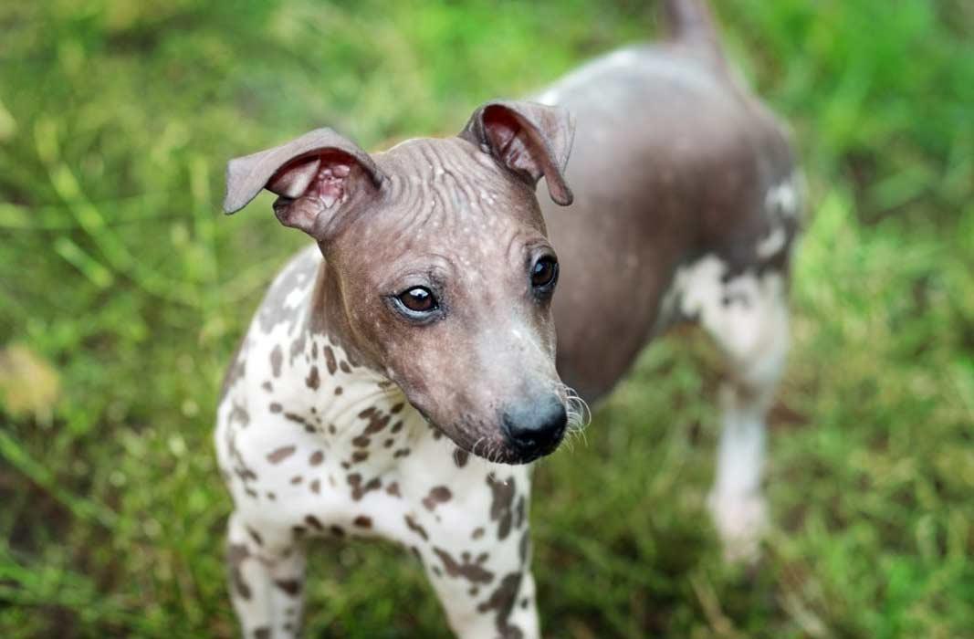 Лысые породы собак