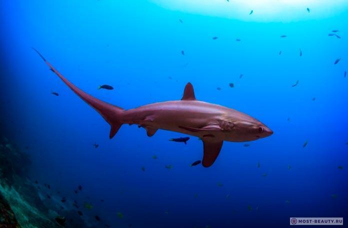 Акула лисья