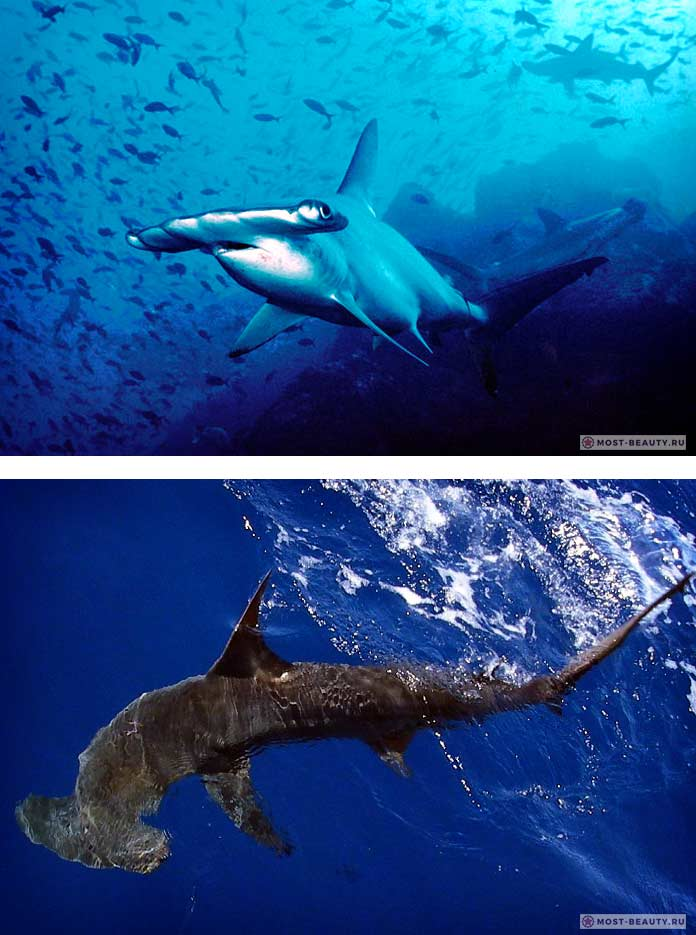 Акула молотоголовая