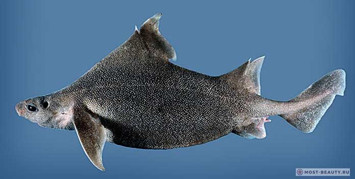 Бляшкошипая акула