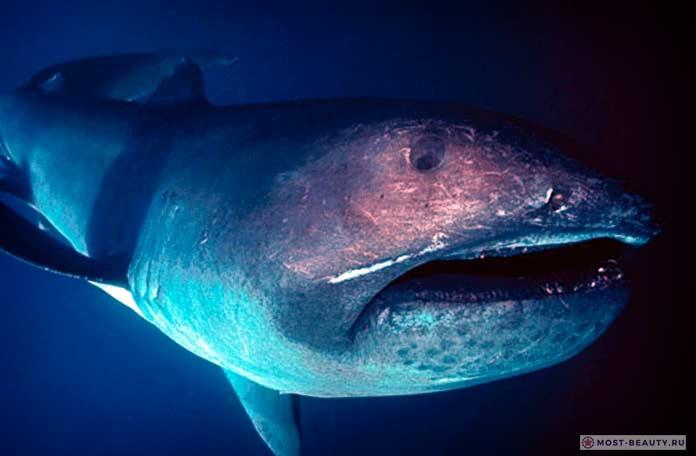Большеротая пелагическая акула