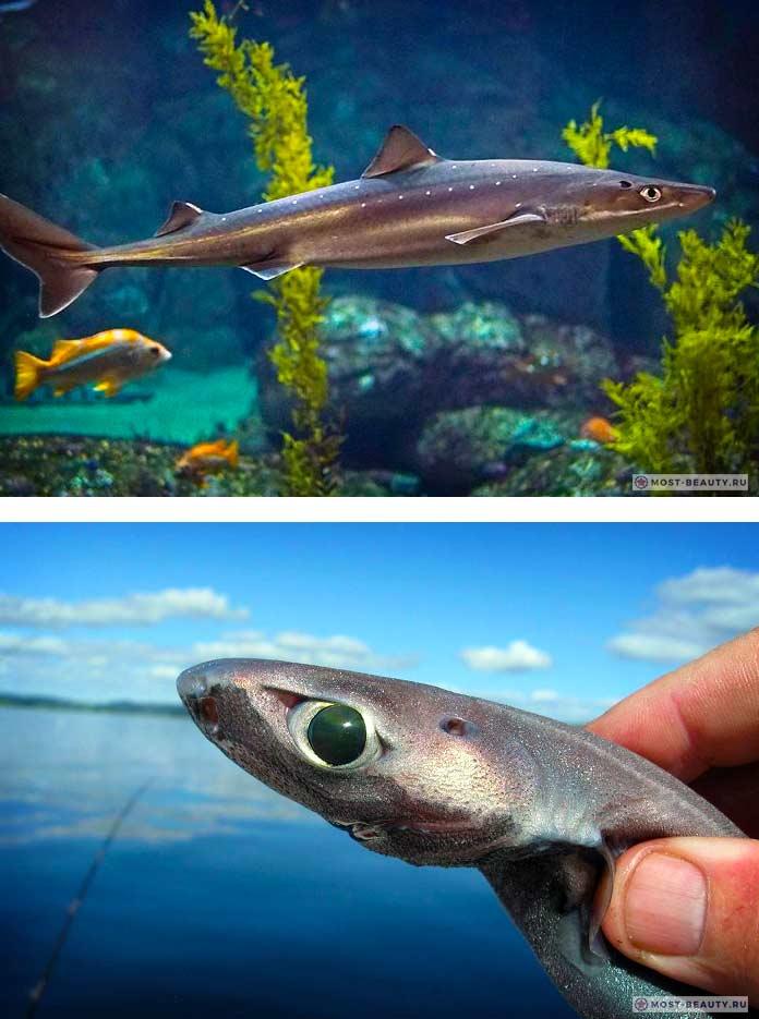 Декоративная акула