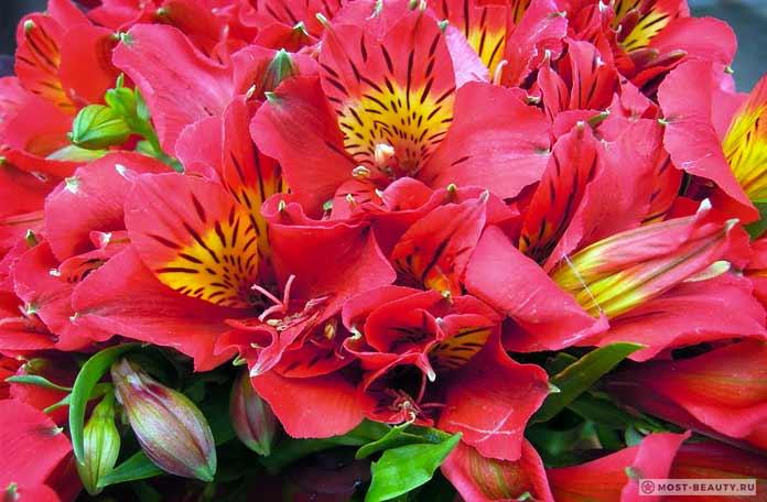 Кроваво-цветковая