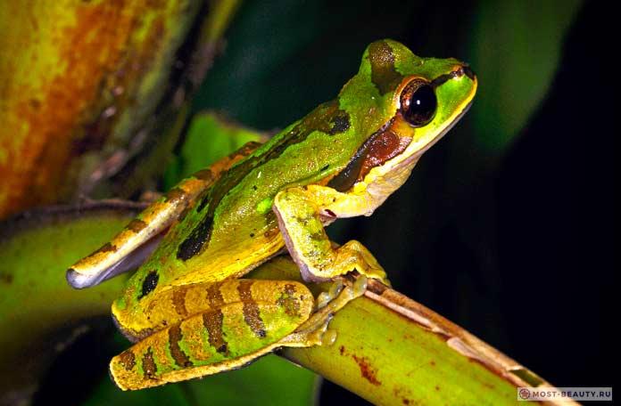 Пятнистая-древесная-лягушка