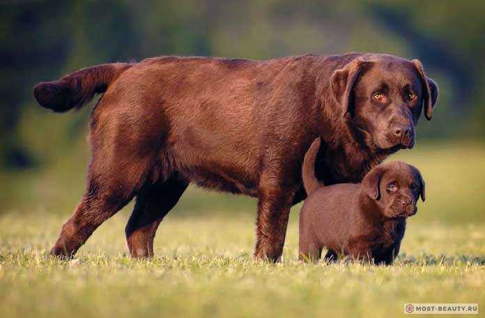 коричневые лабрадоры