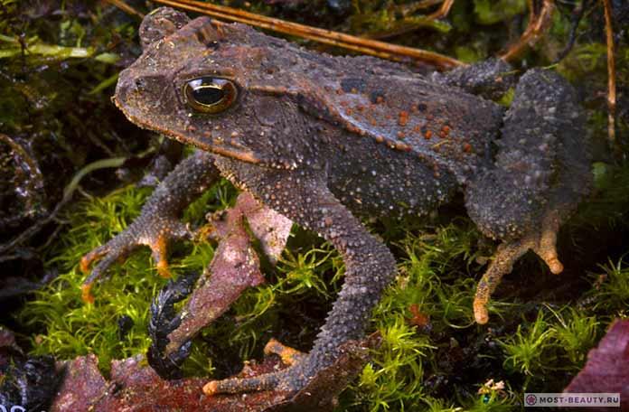 золотистая жаба
