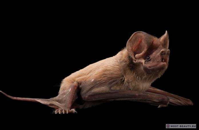 Флоридская летучая мышь