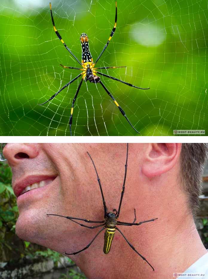 Золотистый паук