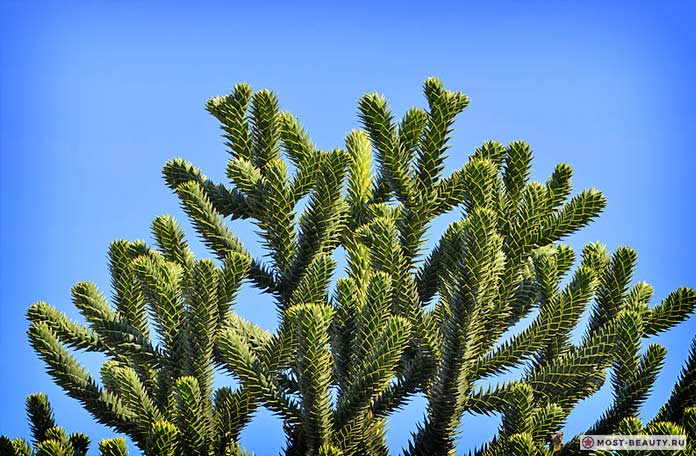 Араукария чилийская