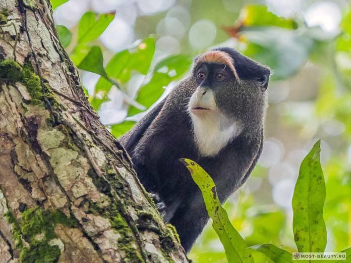 De Brazza Monkey