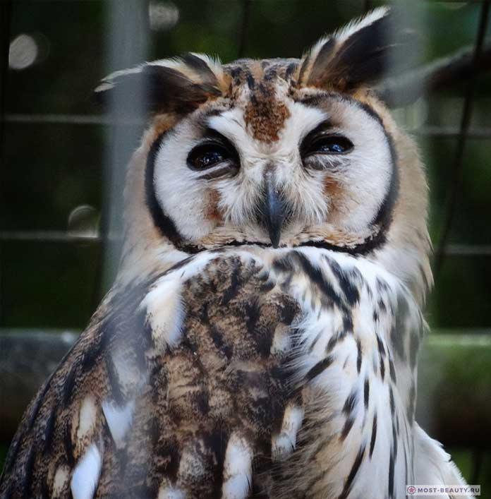 Полосатая сова