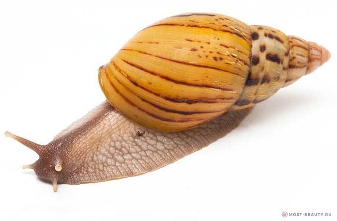 Ахатина занзибарика / Achatina zanzibarica