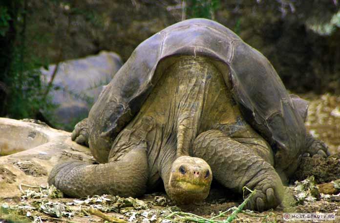 Абингдонская черепаха
