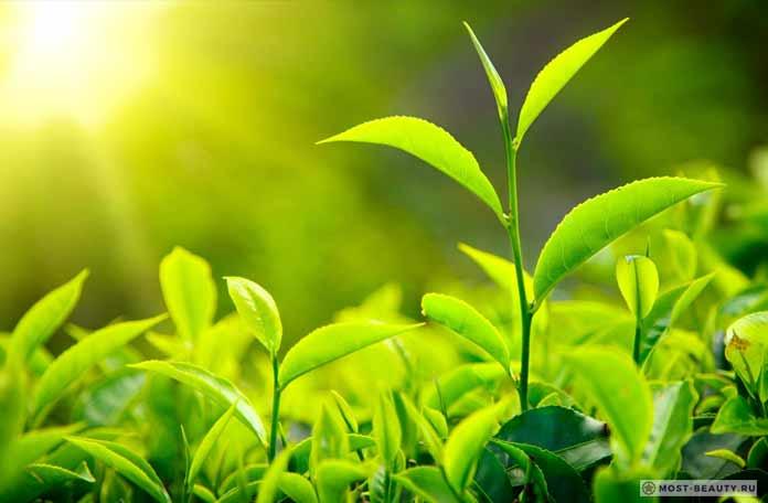 Свежие листья чая