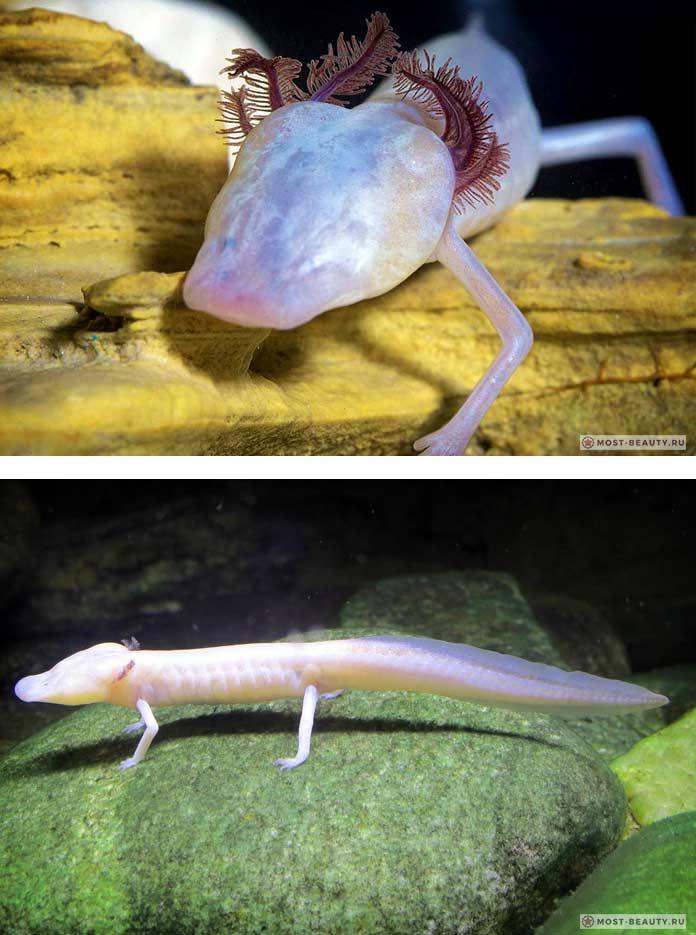 Техасская саламандра