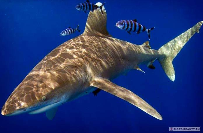 Длиннокрылая акула