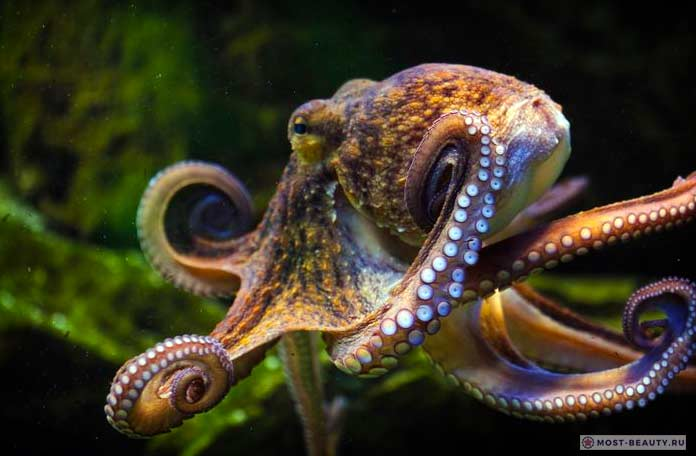 Три сердца осьминога