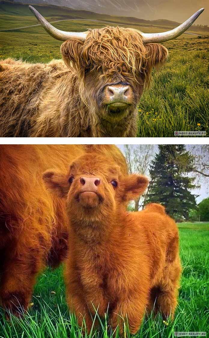 Хайленд. Лохматая и красивая корова
