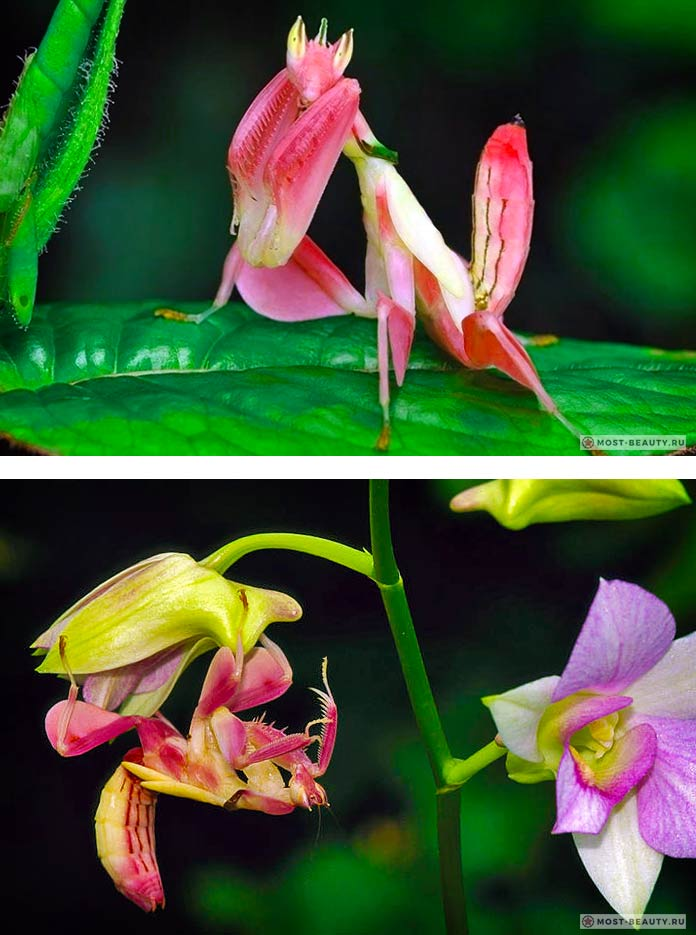 Hymenopus coronatus. Лучшие фото богомолов!