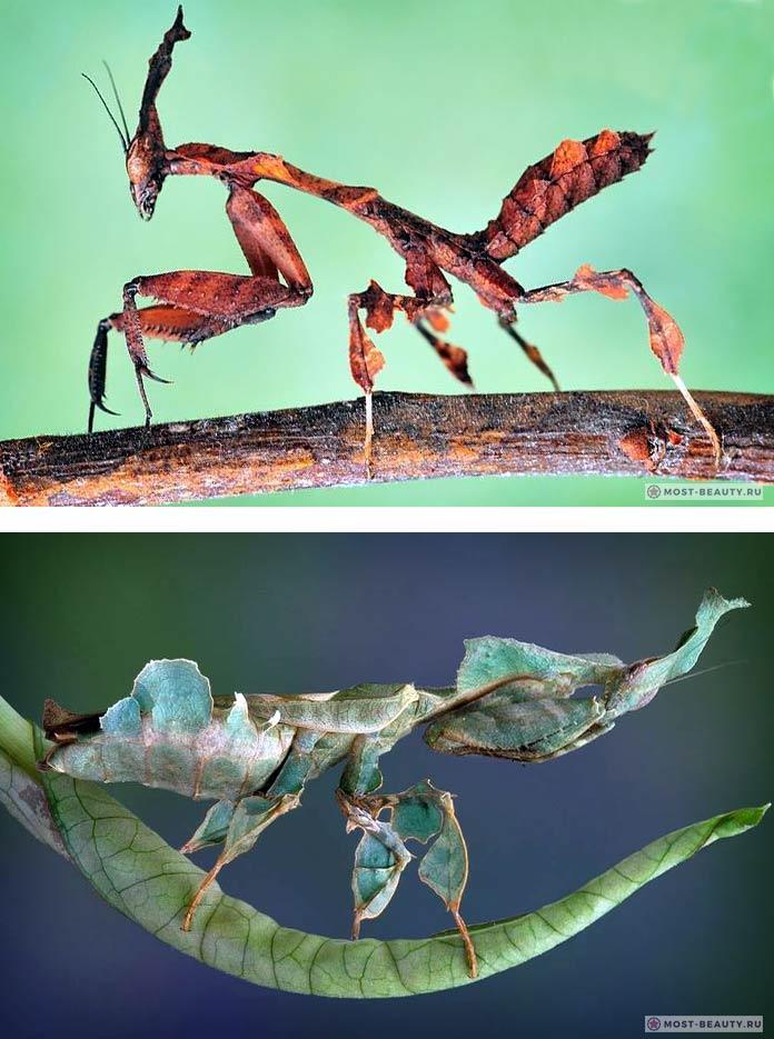 Phyllocrania paradoxa. Лучшие фото богомолов!
