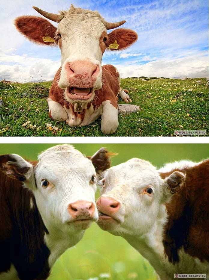 Прикольные коровы