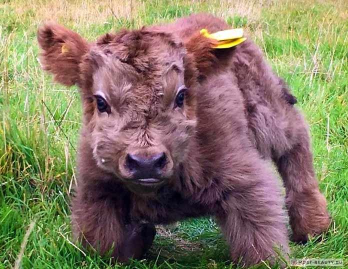 Телята пушистой коровы. Очень красвая порода