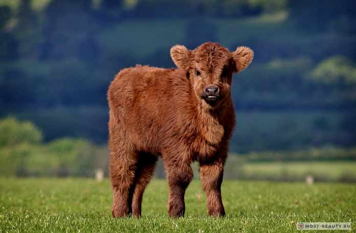 Пушистая коровка
