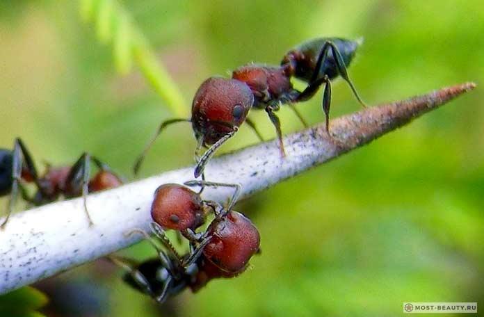 Самые сильно жалящие насекомые: Акациевые муравьи