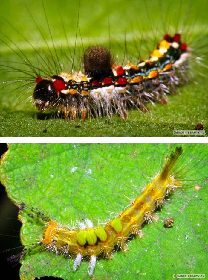 Самые ядовитые гусеницы: Баанг хаанг