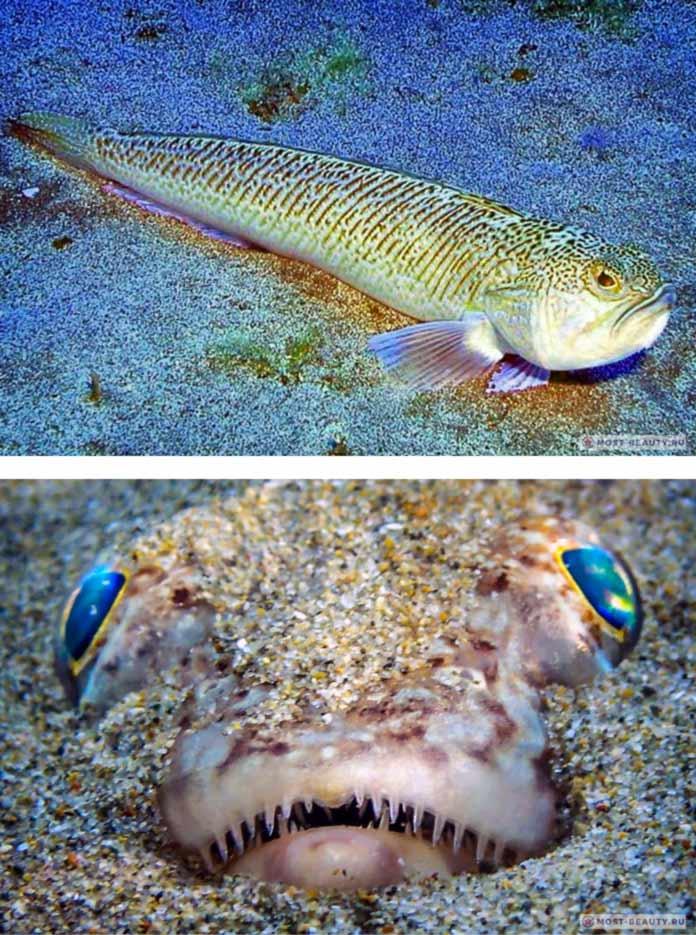 Самые ядовитые рыбы: Большой морской дракон